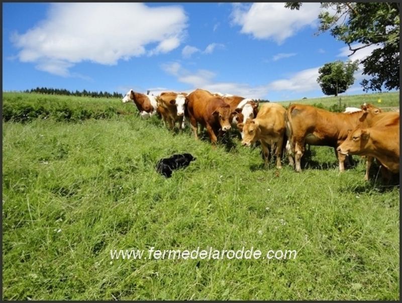 Dico et les vaches